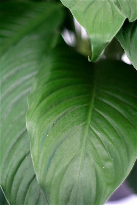 alpha botanical spath plant care profile