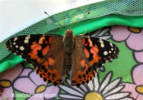 raising painted lady butterflies happiness  homemade