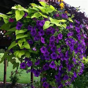 Beautiful climbing flowering vine ...   Gardening ,flowers ...