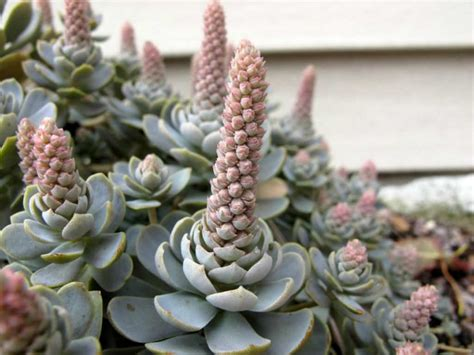 orostachys iwarenge chinese dunce cap world  succulents
