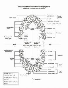 38 Printable Baby Teeth Charts  U0026 Timelines
