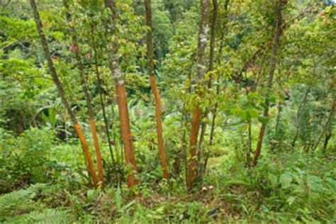 How To Grow A Cinnamon Tree And Why You Should / Survival