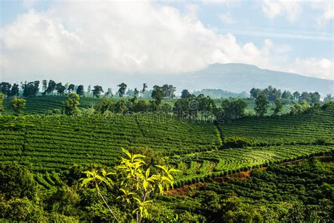 On this antigua guatemala tour visitors will learn about coffee, how coffee is grown in the coffee plantation with a history of more than 130 years that dates from the first growers in 1870 including a. Coffee Plantation Guatemala 12 Stock Photo - Image of leaves, beans: 5374656
