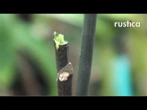 tailler pour faire refleurir  phalaenopsis defleuri