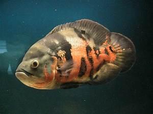 Nature Lover: Oscar Fish
