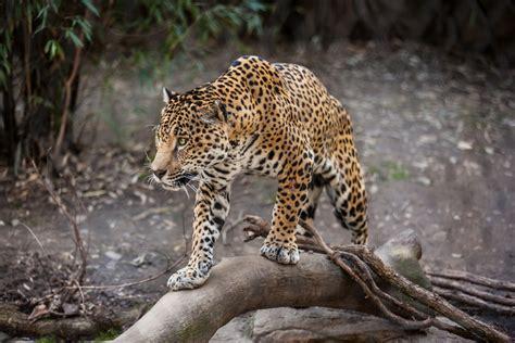 Jaguar Hunting Gallery