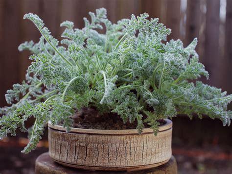 care of pelargoniums pelargonium appendiculatum world of succulents