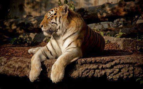 hd tiger full hd desktop wallpapers p
