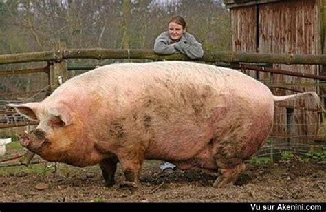 cuisiner le cochon les plus gros cochon du monde the 39 s largest pig