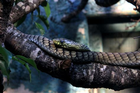 picture western green mamba snake