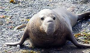 Elephant Seal - Facts, Diet & Habitat Information