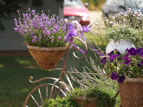 how to plant lavendar growing lavender bonnie plants