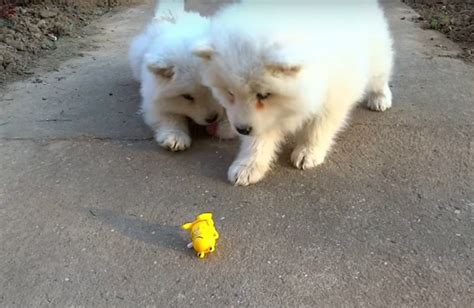 Samoyed Puppies Battle A Wind Up Frog Toy In This Adorable