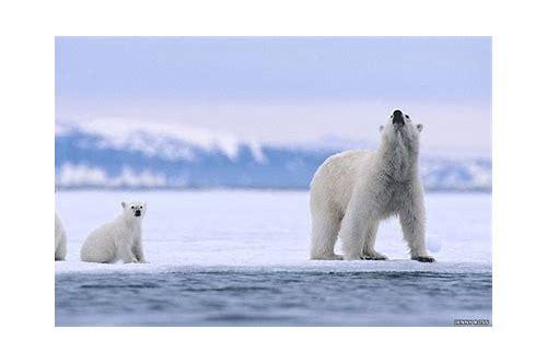 baixar de videos de ursos polares caçando focas