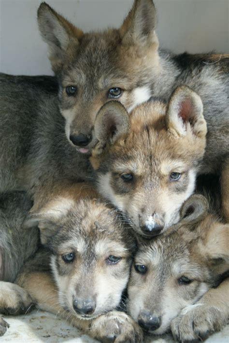 nace la primer familia de lobos mexicanos salvajes tras