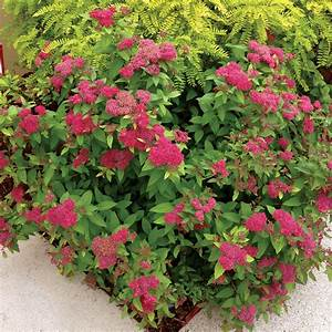 Spirea Double Play U00ae Red From Wayside Gardens
