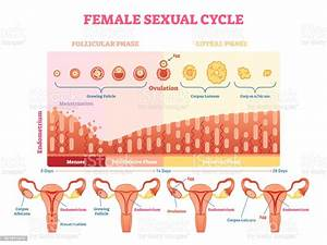 Female Sexual Cycle Vector Illustration Graphic Diagram