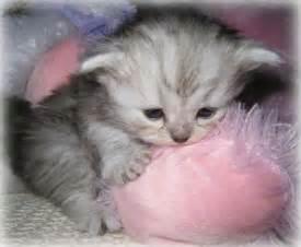 teacup cats teacup kittens napoleons lambkins minipaws minipers