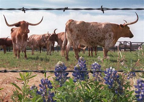 ut research traces longhorn cattle history  middle east