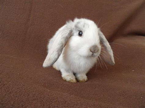 lop eared rabbit baby lop eared rabbits hinckley leicestershire pets4homes