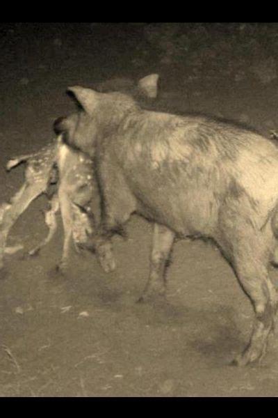 hogs eating deer invasive predators   environment