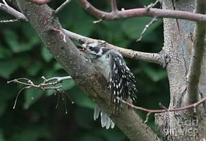 Baby Downy Woodpecker Stretch Photograph by Angela Koehler