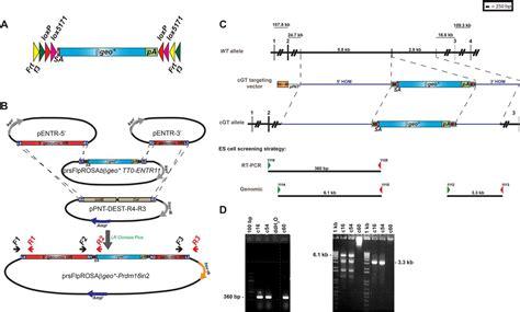 generation   multipurpose prdm mouse allele