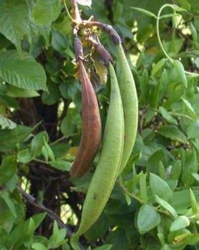 harvesting seeds  trumpet vines   plant trumpet