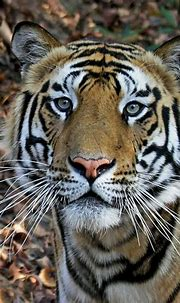 Tiger close-up | www.saranvaid.com Picture taken in ...