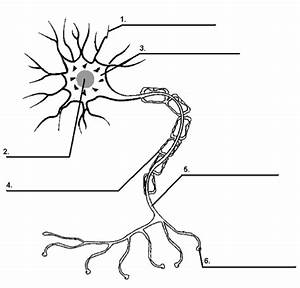Nervous System Quizzes  Trivia  Questions  U0026 Answers