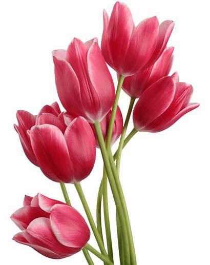 Flower Single Bouquet Tulip Transparent Pluspng