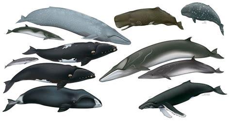 Image Detail For -whale Size Comparison