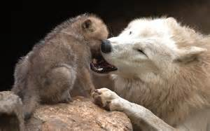 White Wolf Cub