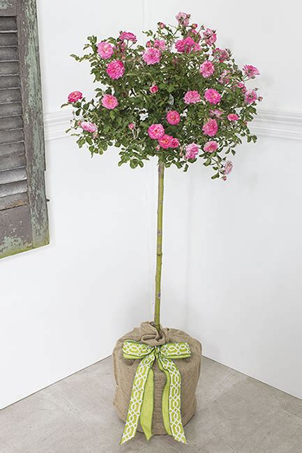 Birthday Lavender Rose Tree Topiary Seeds Of Life