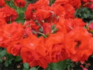 Alte Rosensorten Stark Duftend : rosensorten duftrosen ol on old blush glory master ~ Michelbontemps.com Haus und Dekorationen