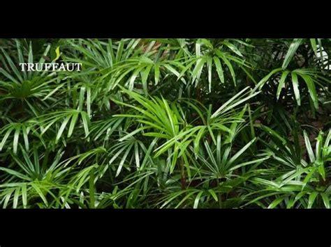 comment entretenir un kentia palmier d int 233 rieur