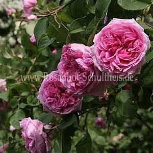 Rosen Düngen Im Frühjahr : mme boll rosen online kaufen im rosenhof schultheis rosen online kaufen im rosenhof schultheis ~ Orissabook.com Haus und Dekorationen