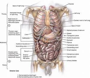 Diagram Of Internal Organs Under Left Rib Internal Organs
