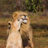 Lions Funny Animal Memes