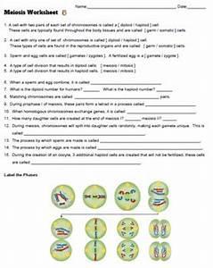 Meiosis Worksheet  Key  By Biologycorner