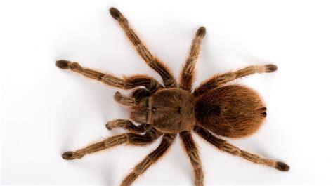 spinnen in der wohnung bekämpfen spinnen in der wohnung schnelle spinne imn der wohnung giftig gift spinnenart kleine schwarze