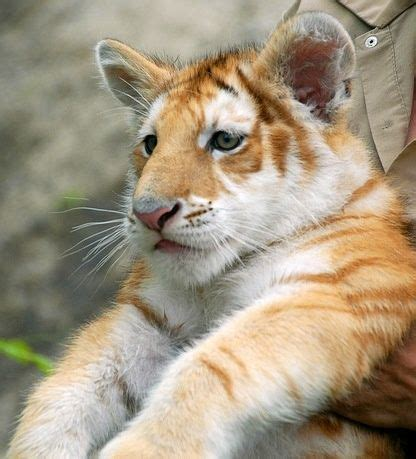 Best Images About For The Love Tigers Pinterest