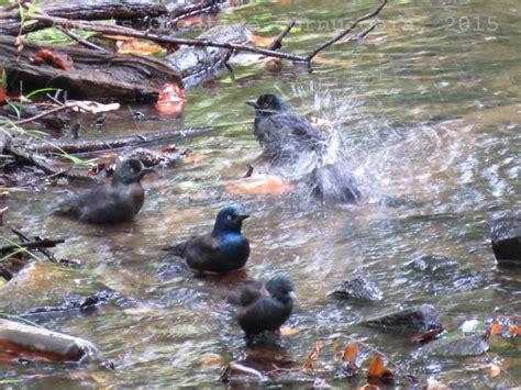 anne s creative cornucopia black birds bathing water