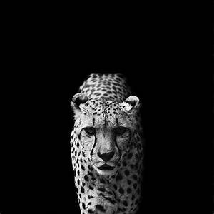 Hell Dunkel Kontrast : wild animal portraits nicolas evariste captures nature in black and white ~ Indierocktalk.com Haus und Dekorationen