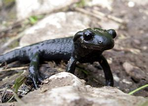 salamander klexikon das freie kinderlexikon