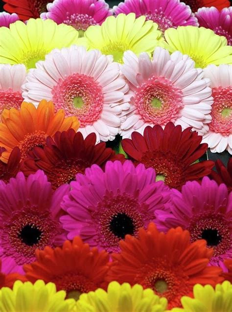 gerbera daisies colors 25 best ideas about gerbera colors on