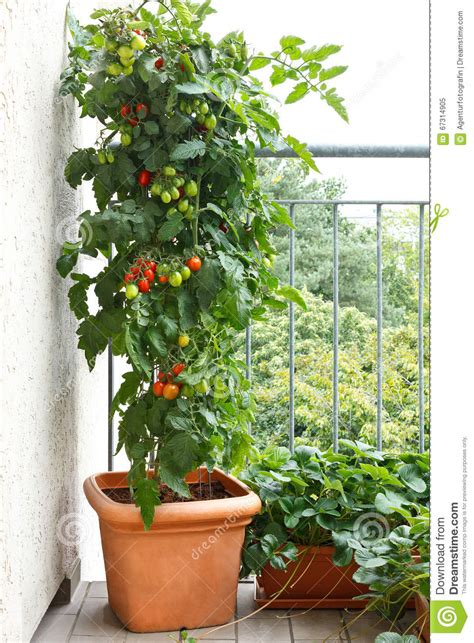 fraise de balcon de pot de plante de tomate photo stock image 67314905