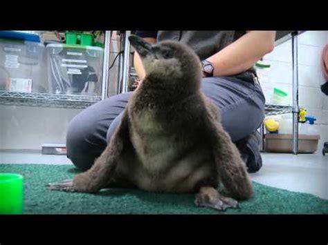 meet  sea otter  georgia aquarium doovi