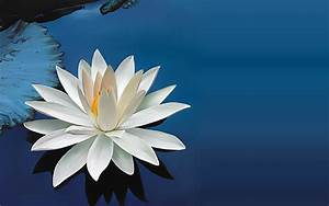Lotus Wallpaper... White Water Lily Quotes