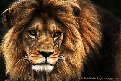 Lion Wallpapers Lions Desktop Background Quotes Backgrounds